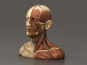 头颈部解剖学  人体结构  人体解剖  医学