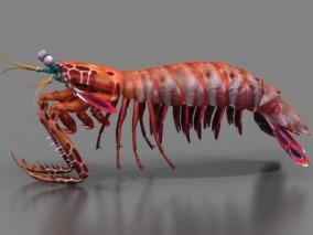 雀尾螳螂虾 皮皮虾 孔雀螳螂虾