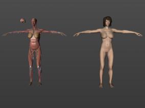 女性人体  人体器官  肌肉骨骼  内脏  精细3D模型