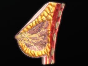 医学模型 乳房 乳头 胸大肌 输乳管 乳腺 乳晕 腺泡 乳管窦  3d模型