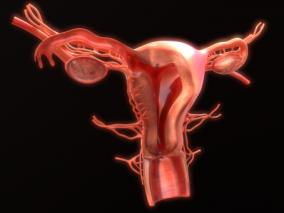 女性医学 生殖器 卵巢 宫口 宫颈 输卵管 子宫 妇科 阴道 子宫颈 3d模型