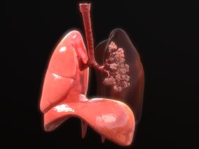 肺 人体 呼吸系统 肺泡 支气管 肺叶 小叶间隔 肺膜脏层 肺门角 淋巴细胞 小梁 淋巴管 肺泡囊