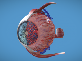 眼睛 泪腺 结膜囊 视网膜 睫毛 眼结膜 球结膜 晶状体 玻璃体 睫状突 眼科 视神经 眼药水 近视