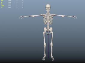 医学人体骨骼