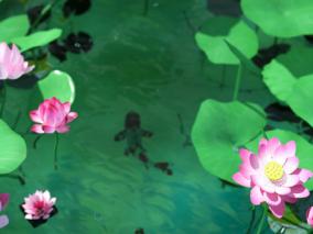 池塘 荷花 莲花 荷塘 荷花池  鱼塘  湖面 莲花池 荷叶 公园水景 莲花特写 生态湖