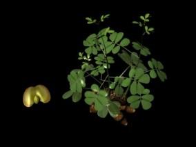 植物生长 花生 花生生长 农作物 花生植株 瓜果蔬菜 植物 绿色农作物 3d模型