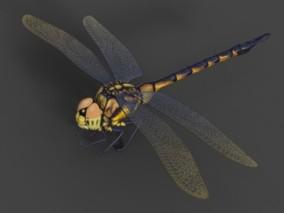 蜻蜓 昆虫 动物