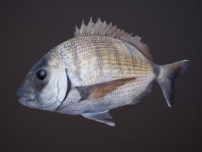 鱼 鲷鱼 丽鱼科 加吉鱼 班加吉 加真鲷 铜盆鱼