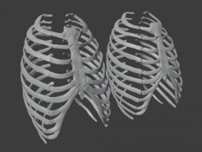 肋骨 人骨 骨头 骨骼 人体  3d模型