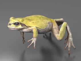 写实青蛙 青蛙标本 树蛙 两栖动物 蛙类 蛤蟆 3d模型