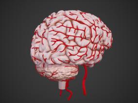 次世代 大脑 剖面 人脑 小脑 脑干 脑垂体 人体 器官 脑血管 医疗解剖