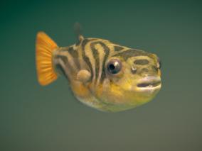 【带动画】写实河豚鱼 刺豚 河鲀 鱼类 硬骨鱼纲 鲀形目 鲀科 3d模型