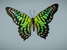 写实蝴蝶 节肢动物门 昆虫纲 鳞翅目 锤角亚目动物 美丽花蝴蝶 绿蝴蝶 3d模型
